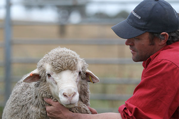 Wool-and-carcass-trait-leader-in-Merino-trial